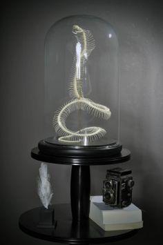 Objet de curiosité-Skeleton of Egyptian cobra under glass