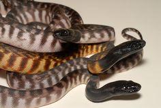 Black-headed Pythons - aspidites melanocephalus