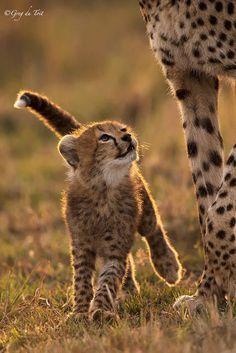 Cheetah cub looking up at Mama #cutecats #cats #animals