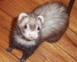I got Posey from a ferret rescue, but in reality, she rescued me. I have had ferrets since 1992, but never one like her. She was a loner, ...