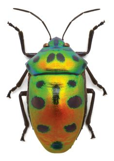 The iridescent eye-catching colors (like these Jewel beetles above) are very vibrant; it's hard to believe they are truly real.