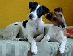 fox terrier de pelo liso / smooth fox terrier  http://es.wikipedia.org/wiki/Fox_terrier_de_pelo_liso  http://en.wikipedia.org/wiki/Smooth_Fox_Terrier