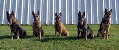 Blue Dutch Shepherd | dogs; a blue German Shepherd, a blue Belgian Malinois and a blue Dutch ...