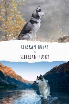 Alaskan Husky vs Siberian Husky - Similarities And Differences Fun Facts About Dogs, Dog Facts, Dogs And Kids, Big Dogs, Lazy Dog Breeds, Designer Dogs Breeds, Smartest Dog Breeds, Hypoallergenic Dog Breed, Beautiful Dog Breeds