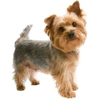 Yorkshire Terrier Puppy Cut