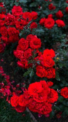 Am ti, cariad bendigedig fy mywyd. Nid ydynt fel prydferth na chi. Rwy'n dy garu di, gwraig mwyaf hardd yn y bydysawd. Red Wallpaper, Flower Wallpaper, Wallpaper Wallpapers, Flower Aesthetic, Red Aesthetic, Flowers Nature, Pretty Flowers, Homescreen Wallpaper, Red Tree