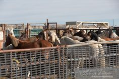 The Final Days of the Checkerboard Wild Horse Roundup Part II | Straight from the Horse's Heart
