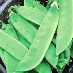 """Pea 'Avalance' - A great substitute for Mammoth Melting Peas, Avalanche snow peas 15cm (6"""") pods that are sweet and tender. Plants are """"semi-leafless"""" so they put more energy into producing pods, making for higher yields. Plant 2 to 3 rows close together and plants will intertwine, providing support for each other."""