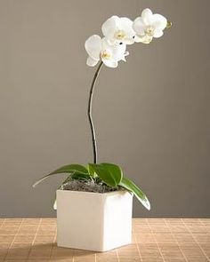 A single-stem potted orchid plant ~ a very thoughtful and classic hostess gift.