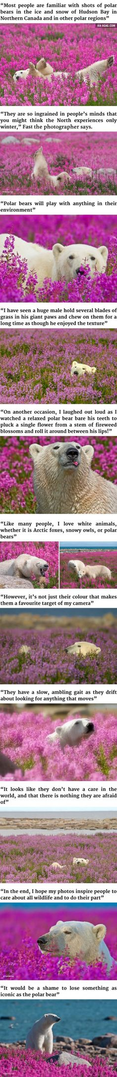 Polar Bears Playing In Flower Fields (By Dennis Fast)