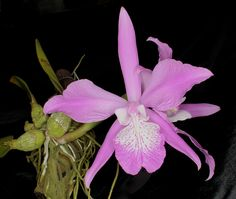 Orchid: Laelia speciosa