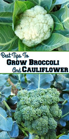 If you learn to grow broccoli you will be able to grow cauliflower too! I am going to share a few of the best tips to get your garden started. Growing Cauliflower, Broccoli Plant, Cauliflower Vegetable, Growing Broccoli, How To Grow Broccoli, Fall Vegetables, Planting Vegetables, Growing Vegetables, Growing Tomatoes