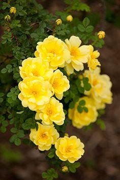 Yellow rose | Rosa 'Harison's Yellow'
