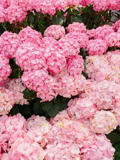 Pink hydrangeas.