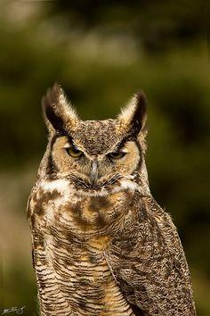 Great-horned Owl- Point Pelee, Canada // by Matt Bango Pretty Fish, Pretty Birds, Tawny Owl, Owl Always Love You, Great Horned Owl, Snowy Owl, Birds Of Prey, Bird Watching, Animal Kingdom