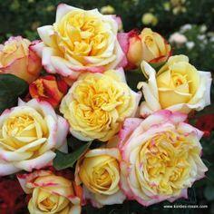 kordes roses grande amore kordes rose a grande amore. Black Bedroom Furniture Sets. Home Design Ideas