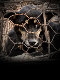 Please sign and share petiton: http://itsnofestival.animalsasia.org/?ok=1 2,000 dogs are slaughtered at Yulin in a single day