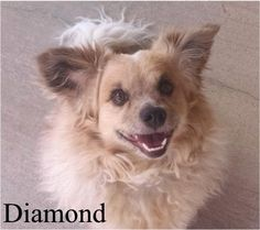 Diamond is an adoptable Pomeranian searching for a forever family near Tucson, AZ. Use Petfinder to find adoptable pets in your area.