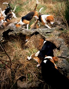 ahh beagles... is there anything neater than watching a pack like this?