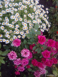 Розы - красавицы, любимицы! Пока на новом участке посажены временно в свободном от стройки месте. За зиму думаю составить планы посадок, разместив розы вместе с компаньонами...