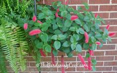This Chenille firetail plant - Acalypha hispida - makes a magnificent hanging basket.  Just one of many flowers in my garden here is NC.  See more at http://thegardeningcook.com/gardening-in-may/
