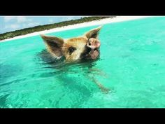 Oh my god - I have to do this! Swimming with Pigs in the Bahamas http://www.lonelyplanet.com/the-bahamas