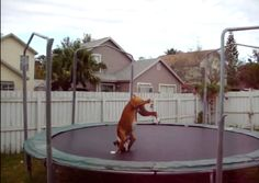 Happy Boxer loves the trampoline and jumps for joy (VIDEO)
