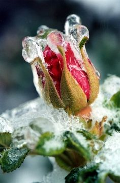 Rosebud in Ice Storm Flowers Garden Love