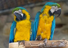 Two Blue-and-Yellow Macaws sitting together.