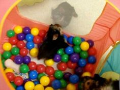 Yorkie Puppies Playing--I have to find who makes this ball pit! These puppies love it!