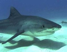 Tiger Shark - Animal Facts, Information, Pictures, Videos, Resources and Links