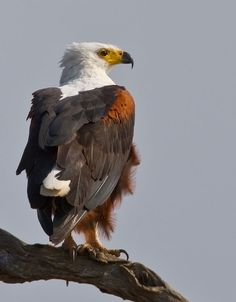 The African Fish Eagle - Haliaeetus vocifer, is a large species of eagle that is found throughout Sub-Saharan Africa wherever large bodies of water occur that have an abundant food supply. Photo by Colin Pym.