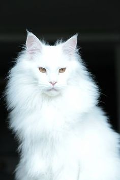 When it comes to Maine Coon Vs Norwegian Forest Cat both can make good pets but have some traits and characteristics tha. Cute Cats And Kittens, Baby Cats, Cool Cats, Kittens Cutest, Funny Kittens, Pretty Cats, Beautiful Cats, Animals Beautiful, Cute Animals
