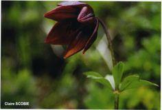 Lilium paradoxum Délkelet Tibet  3200-3900 m feletti magasságon, cserjés, domboldali rét és köves talajon.