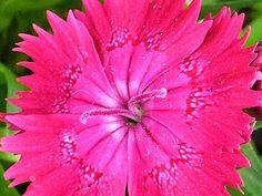 Sweet william flower