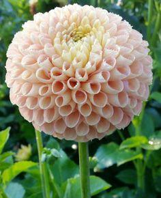 Blush Flowers, Dahlia Flower, Exotic Flowers, Cut Flowers, Beautiful Flowers, Rare Flowers, Pink Garden, Dream Garden, Ikebana