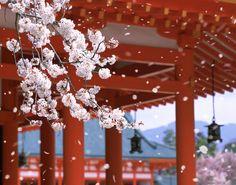Le foto più belle della fioritura dei ciliegi in Giappone