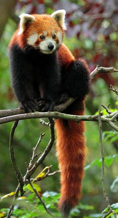 Its a red panda! Cute Wild Animals, Wild Animals Photos, Animals And Pets, Cute Creatures, Beautiful Creatures, Animals Beautiful, Red Panda Cute, Spirit Animal, Animal Photography