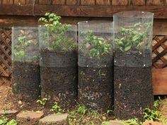 Traditionnellement, la culture de la pomme de terre prend énormément d'espace. La tour à pommes de terre constitue une technique alternative qui a pour avantage de produire des pommes de terre en espace réduit comme sur des balcons ou des petits jardins où la place est limitée. De plus, ce dispositif de culture permet d'obtenir ...