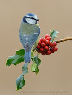 Blue Tit on Holly by Dean Mason on 500px*