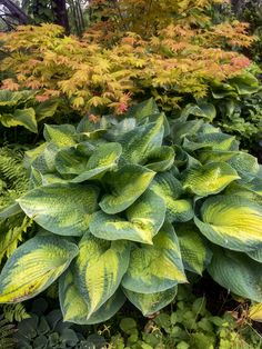 HOSTA Fire And Ice Starter Size PLANT  BUY 5 HOSTAS ONE FREE Ship Spring 2020