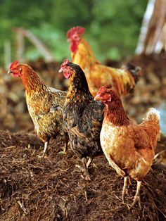 Nitrogen: The Elusive but much need Nutrient: Choose an organic source of this essential element.  EX: Manure from chickens and other poultry is an excellent source of nitrogen. To avoid burning plants, compost the manure before applying it.