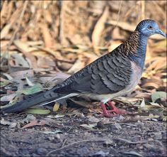 Bar Shouldered Dove, Australia