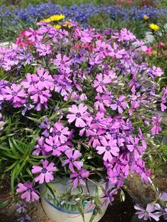 Power Flowers - Phlox subulata Purple Beauty