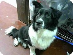 NO LONGER AVAILABLE   Atlanta, GA - Cardigan Welsh Corgi/Border Collie Mix. Meet OREO, a dog for adoption. http://www.adoptapet.com/pet/15960056-atlanta-georgia-cardigan-welsh-corgi-mix