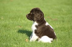 Springer Spaniel Puppy - Love it and I want it. Perro Cocker Spaniel, Springer Spaniel Puppies, English Springer Spaniel, Spaniel Dog, Cute Cats And Dogs, Cute Dogs And Puppies, I Love Dogs, Puppy Love, Corgi Puppies