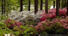 Red,Pink & White Azalea Bushes at Brighton Dam in Maryland by Patty Hankins,Fine Art Floral Photographer. BeautifulFlowerPictures.com