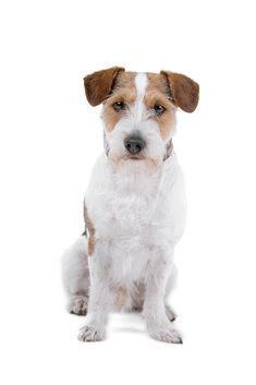 Rough coated Jack Russell Terrier