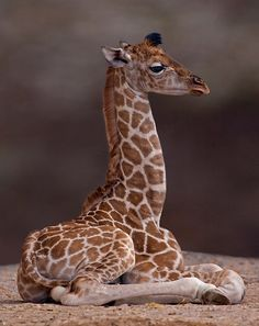 studioview: Baby Giraffe by Krys Bailey | Redbubble