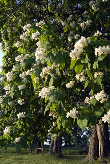 American catalpa tree - I have 2 of these huge things that are beautiful in about July, but then drop a million 15 inch green bean things everywherre for ALL 3 OTHER SEASONS! GAAAAA!!